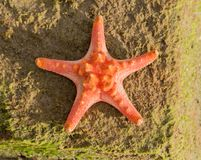 Red Starfish on beach - Summer background. Red Starfish on caribbean beach - Summer background Stock Photos
