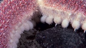Red starfish close up underwater on seabed of White Sea. stock video