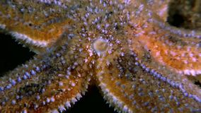 Red starfish close up underwater on seabed of White Sea. stock footage