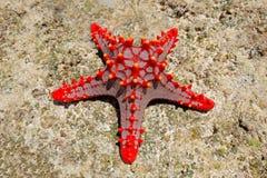 Red starfish Stock Image