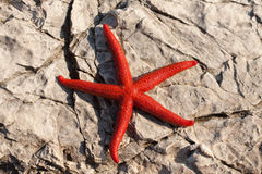 Red starfish (Echinaster sepositus) Royalty Free Stock Images