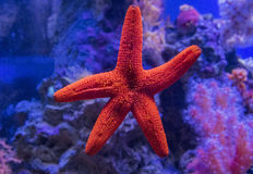 Red starfish Fromia milleperella stuck to the glass. Stock Photo