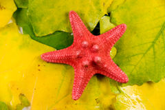 Red starfish on leaves Stock Photos