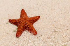 A red starfish Royalty Free Stock Image