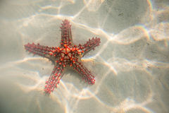 Red starfish resting on the bottom of Indian Ocean Royalty Free Stock Photos