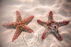Red starfish resting on the bottom of Indian Ocean Royalty Free Stock Photo