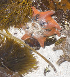 Red starfish on rock Stock Images