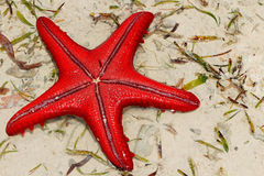 Red starfish on sand Royalty Free Stock Images