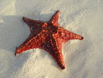 A red starfish on the sand Stock Photography
