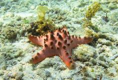 Red starfish on sea bottom. Pillow starfish on white sand in seawater. Stock Photo