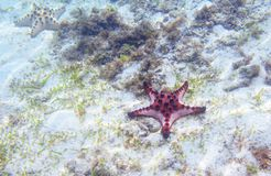 Red starfish on sea shore with seagrass. Underwater photo of star fish in tropical seashore. Exotic island beach