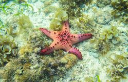 Red starfish in seaweed of tropical sea. Underwater landscape with pink starfish.