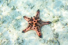 Red starfish in shallow water of tropical sea. Royalty Free Stock Images
