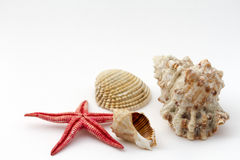 Red starfish and shells Stock Image