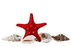 Red starfish and some sea shells isolated on white Royalty Free Stock Photos