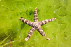 Red starfish on stone and fresh green seaweed stock image