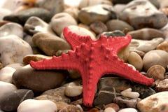 Starfish on stones. Red Starfish on the stony coast Royalty Free Stock Image