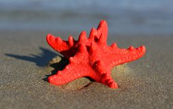 Red starfish with sturdy armor on the beach Stock Photo