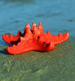 Red starfish with sturdy armor and the blue sea Stock Image