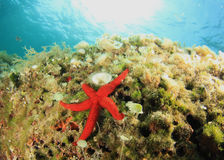 Red Starfish underwater Stock Images
