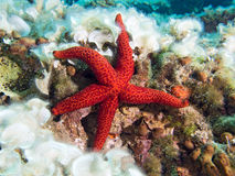 Red Starfish. Underwater photograph of a Red Starfish on a reef Stock Image