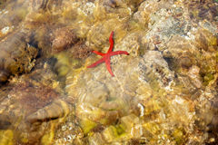 Red starfish in the water Royalty Free Stock Images