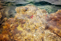 Red starfish in the water Royalty Free Stock Photos