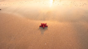 A red starfish on wet sand in natural sunlight Royalty Free Stock Images