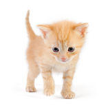 Red staying kitten Stock Images