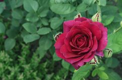 red steg Blomma den röda rosen i stadsträdgården R?d ros p? en bakgrund av gr?na sidor royaltyfri fotografi