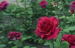 red steg Blomma den röda rosen i stadsträdgården R?d ros p? en bakgrund av gr?na sidor royaltyfria foton