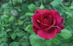red steg Blomma den röda rosen i stadsträdgården R?d ros p? en bakgrund av gr?na sidor arkivbild