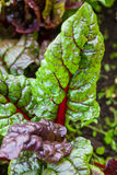 Red stem chard Beta vulgaris Royalty Free Stock Photos