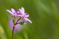 Red-Stemmed Filaree Or Storksbill, Erodium Cicutar Royalty Free Stock Images