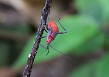 Red stink bug. Found in tropical jungle Royalty Free Stock Images
