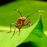 Red Stink Bug on green leaf, a macro shot Royalty Free Stock Photography