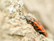 Red Stink Bug Insect stock photos