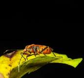 Red Stink Bug, a macro shot Royalty Free Stock Image
