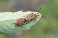 Red stink bug Stock Image