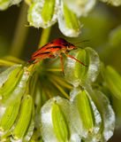 Red Stink (Shield) Bug. Foul tasting bright red Shield Bug (Graphosoma semipunctatum) climbing on Elaeoselinum asclepium winged seeds Royalty Free Stock Image