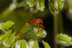 Red Stink (Shield) Bug. Foul tasting bright red Shield Bug (Graphosoma semipunctatum) climbing on Elaeoselinum asclepium winged seeds Royalty Free Stock Photo