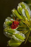 Red Stink (Shield) Bug. Royalty Free Stock Images