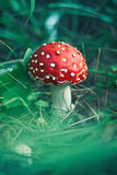 Red stipe mushroom on the forest Royalty Free Stock Photos