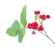 Red stone bramble with green leaves Royalty Free Stock Photos