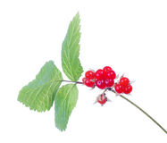 Red stone bramble on white Royalty Free Stock Photo