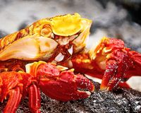 Red stone crab Grapsus grapsus is a species of crab that is widespread on the South American Pacific coast, including Mexico. And Central America in the North stock images