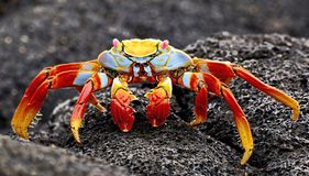 Red stone crab Grapsus grapsus is a species of crab that is widespread on the South American Pacific coast, including Mexico. And Central America in the North royalty free stock photography