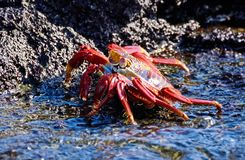 Red stone crab is a species of crab that is widespread on the South American Pacific coast, including Mexico. Red stone crab Grapsus grapsus is a species of crab stock image