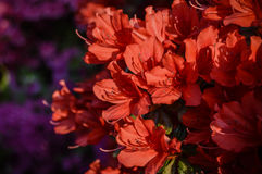 Red storm of flower royalty free stock photos