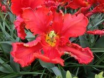 Red strange Tulip flower, horizontal Stock Photo